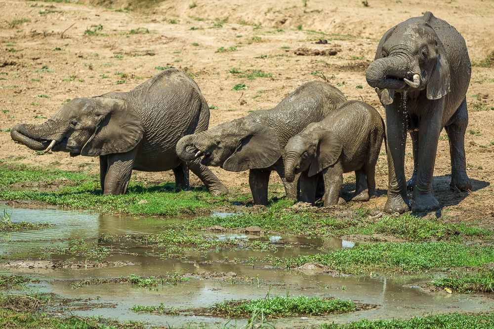 elefanti a bere nel parco nazionale del Luangwa del sud in Zambia