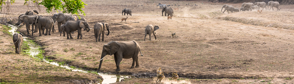 Mfuwe fotosafari - elefanti a bere