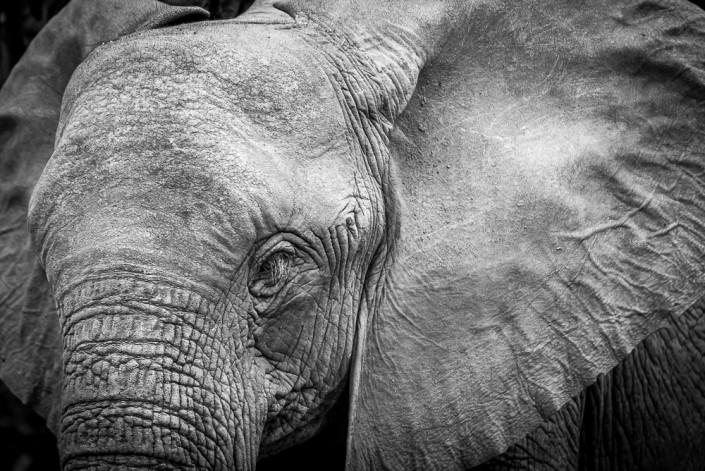 viaggio fotografico in botswana, ritratto di elefante in bianco e nero