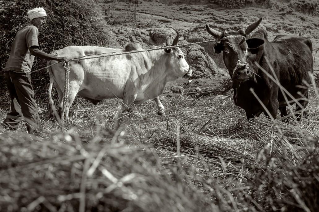 foto in bianco e nero,Contadino con i suoi buoi in Etiopia