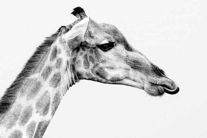 Fotosafari in Botswana, giraffa in bianco e nero