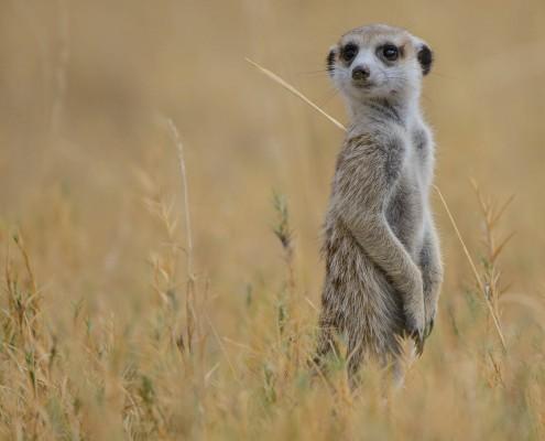 un suricato nel Kalahari botswana