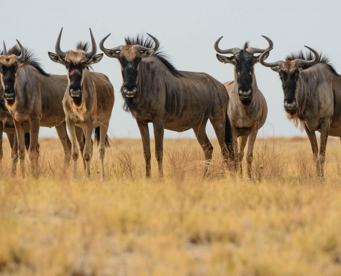 Gnu, in Botswana, Kalahari durante un safari