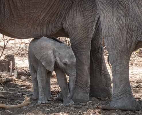 Elefantino neonato nel Ruaha National Park, Tanzania, tiny baby elephant