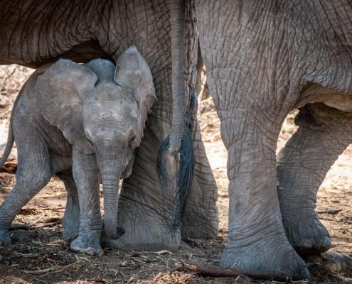 Ruaha National Park, Tanzania, elefantino neonato