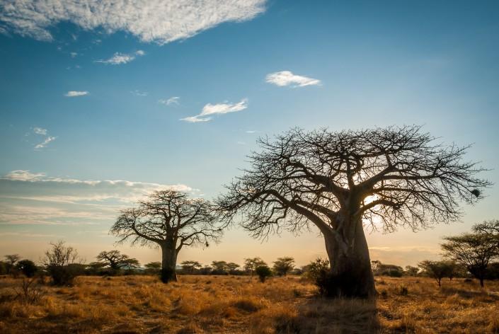 Tanzania, Baobabs Ruaha Nationalpark
