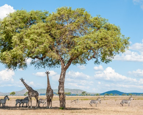 Mikumi National Park, Tanzania, animals seeking shade in the hot hours of the day