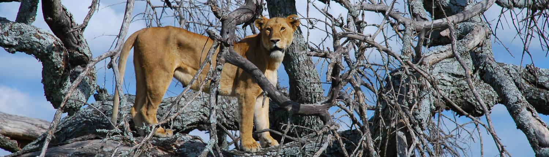 tree climbing lioness, Manyara Lake, Tanzania