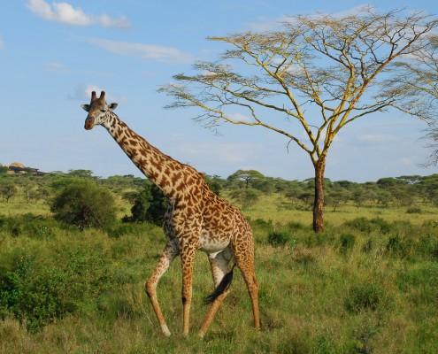 Giraffe nel parco nazionale Mikumi , Tanzania