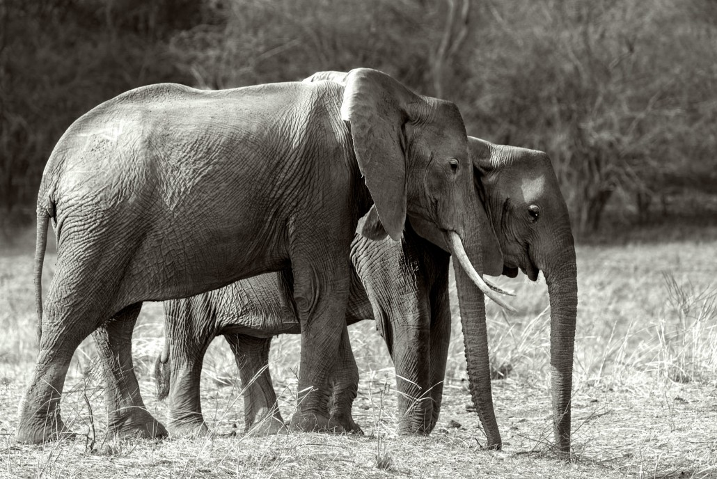 Zambia, elephant family