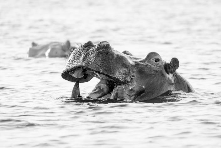 zambia, zambezi river, hippo
