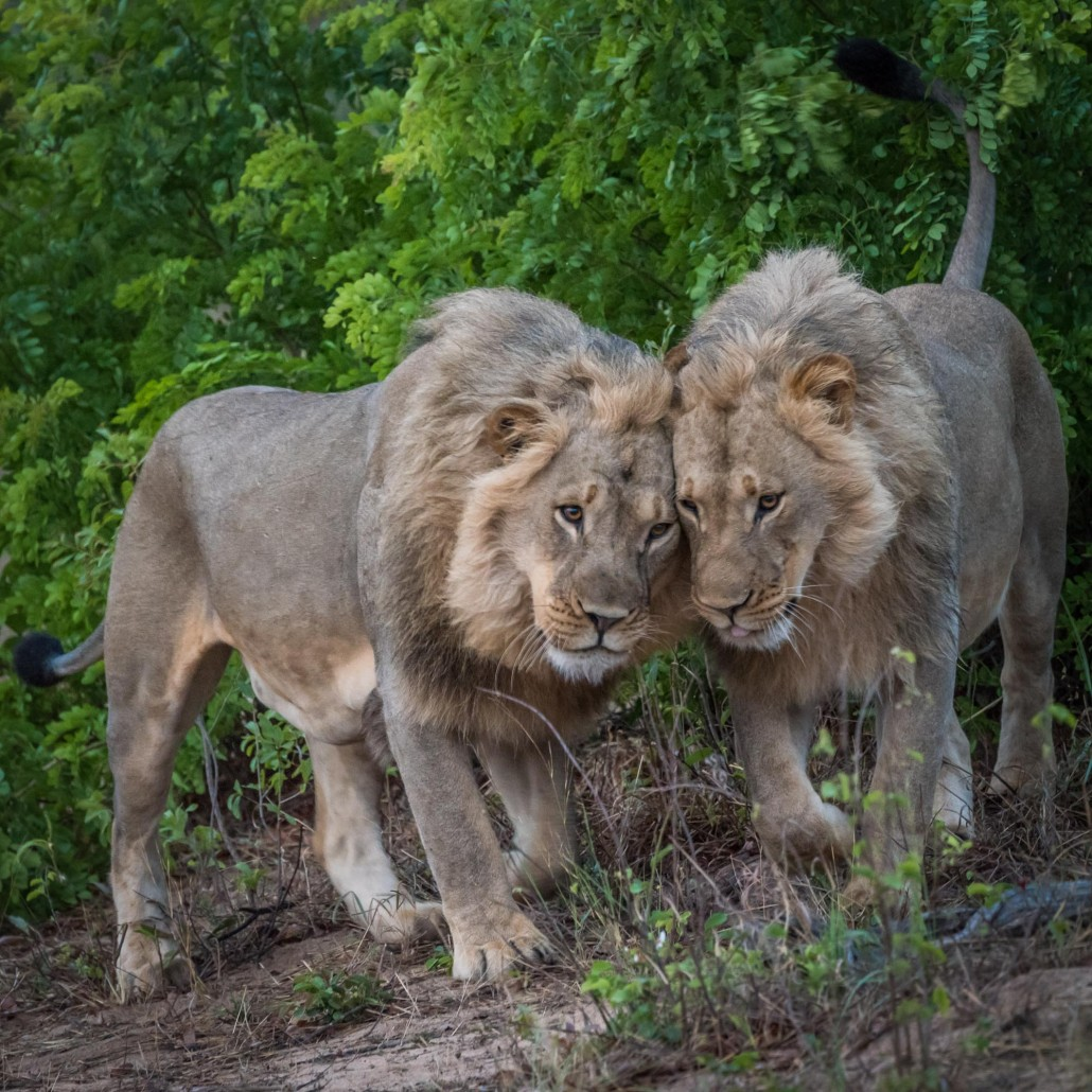 two lions in the hwange np, zimbabwe