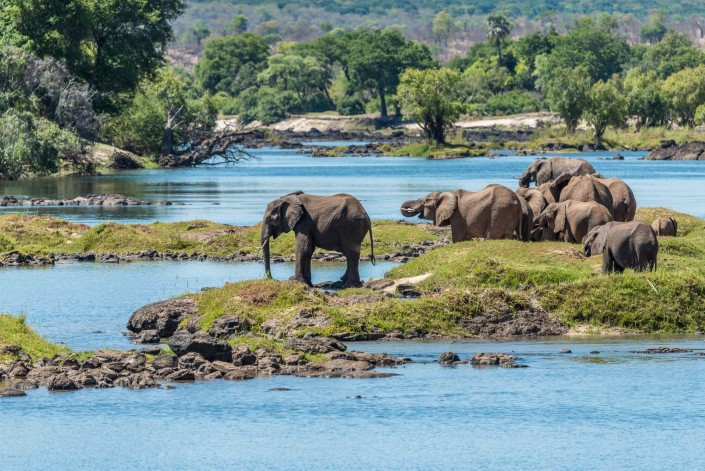an elephant herd by the Zambezi river