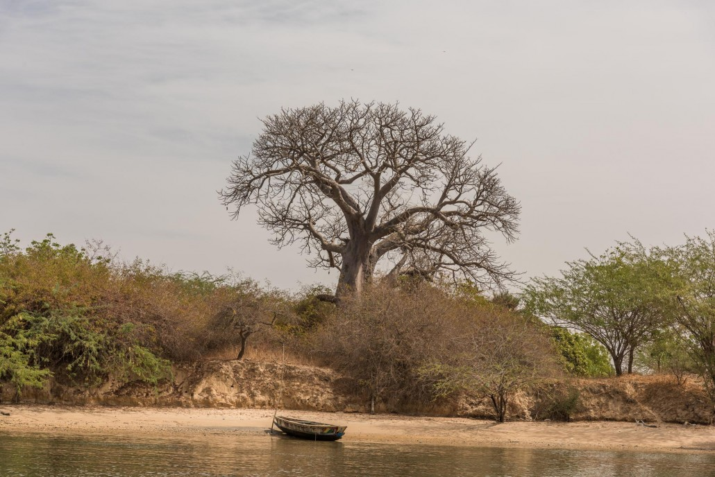 Senegal, a Baobab near Mar Lodj
