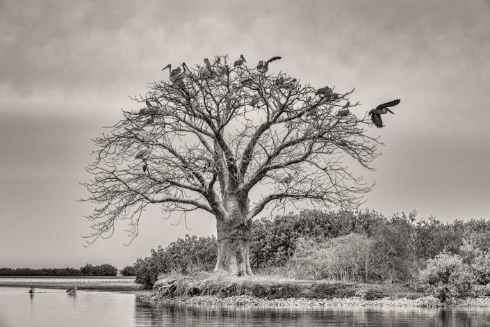 Senegal, albero sacro vicino a Mar Lodj