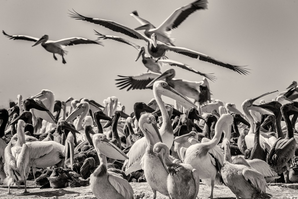 Pelicans in the National Park of Djoudj