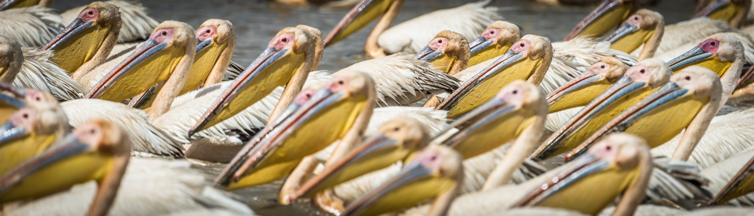 Pelicans in the Djoudj Park