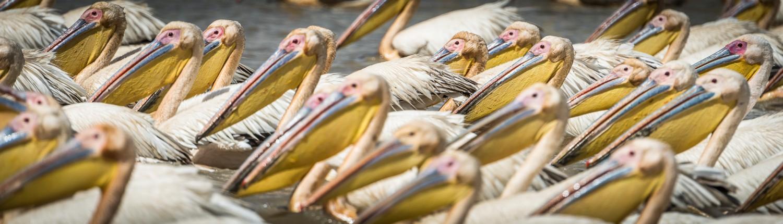 Senegal, Pelikane im Djoudj Nationalpark