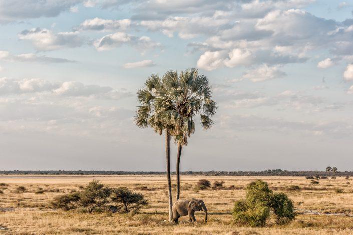 etosha np, a lone bull elephant