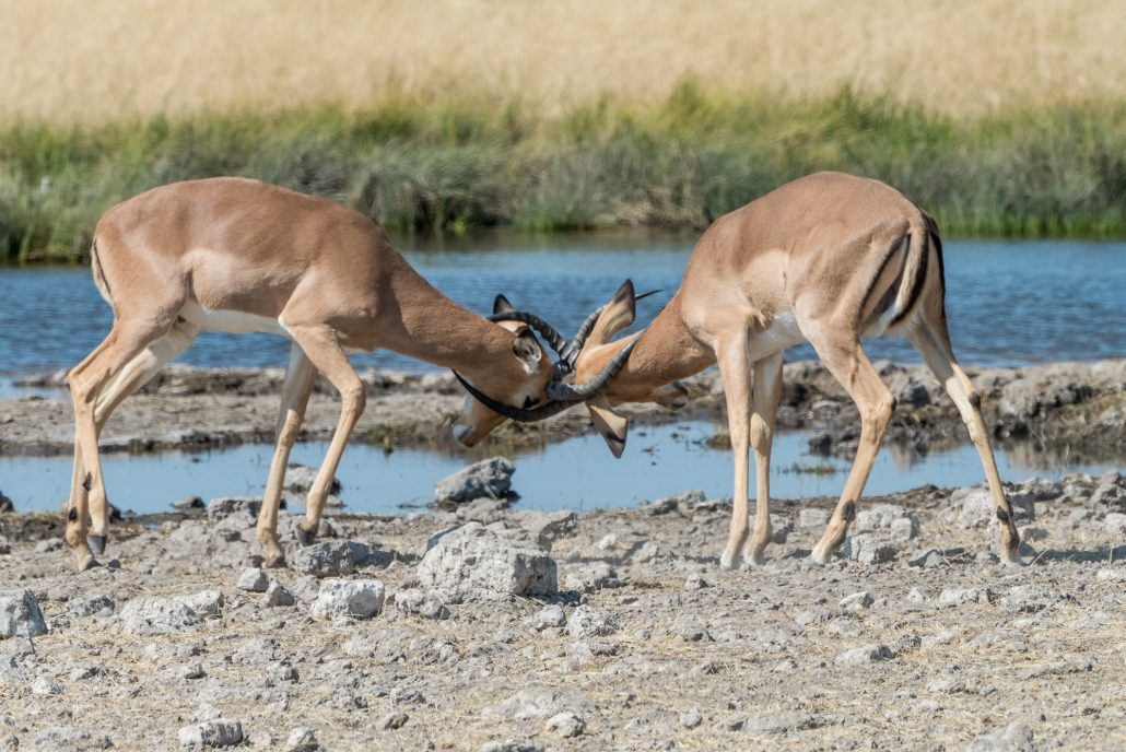 fight between two male impalas in the etosha park