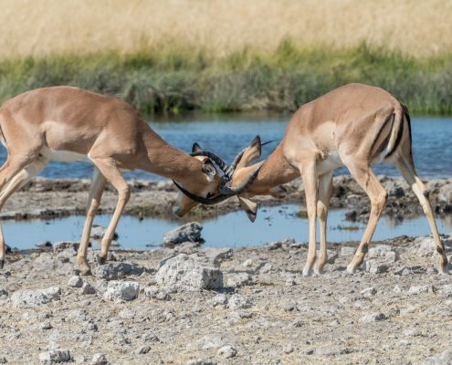 battaglia tra due maschi impala