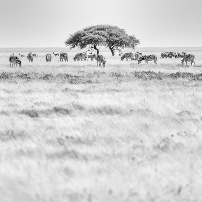 black & white zebras and acacia tree