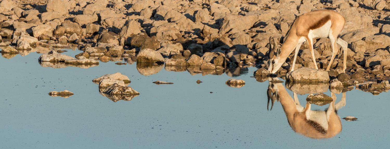 uno springbok ad Okaukuejo