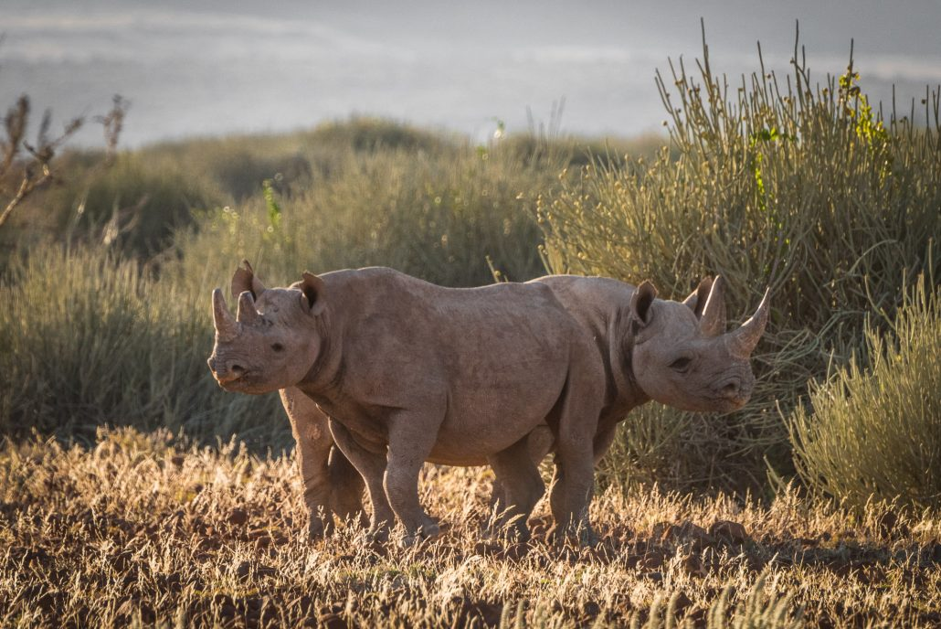 two rhinos near Palmwag in Namibia