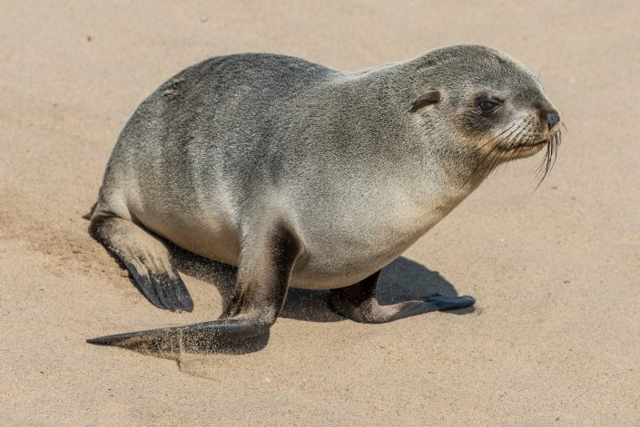 a baby seal in Cape cross, Namibia
