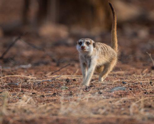 un suricato