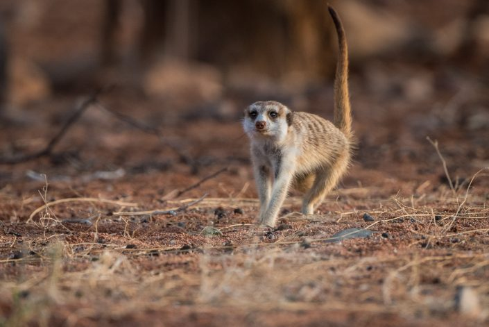 a suricate in namibia, wildlife