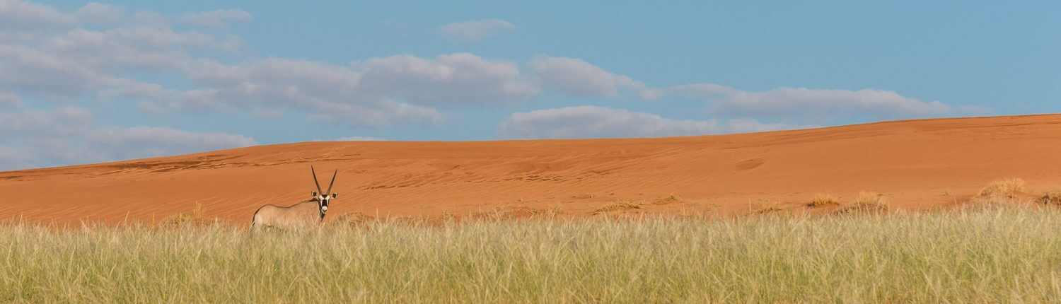 the oryx in the dunes
