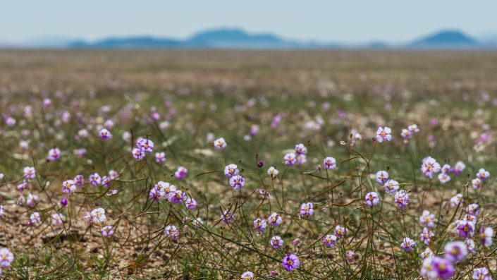 the namib desert with flowers after the rain