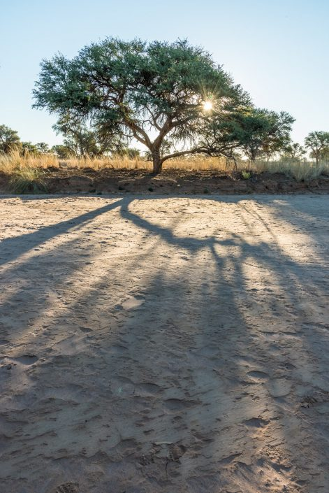 a tree at sunset in namibia