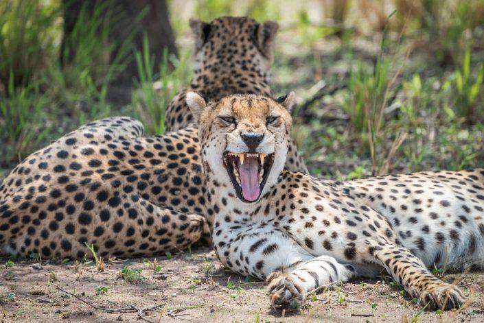 Africa, Tanzania, Tarangire National park, two cheetahs