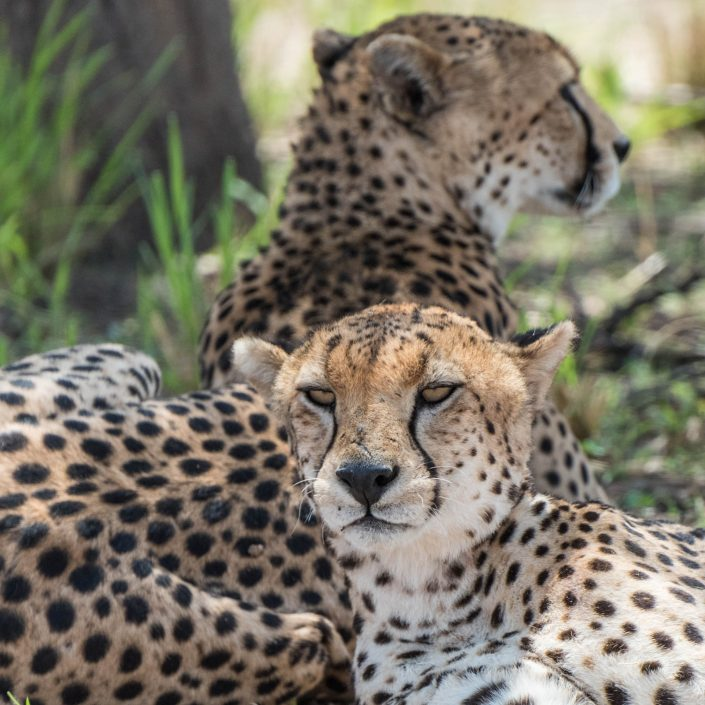 Cheetahs in the Tarangire NP