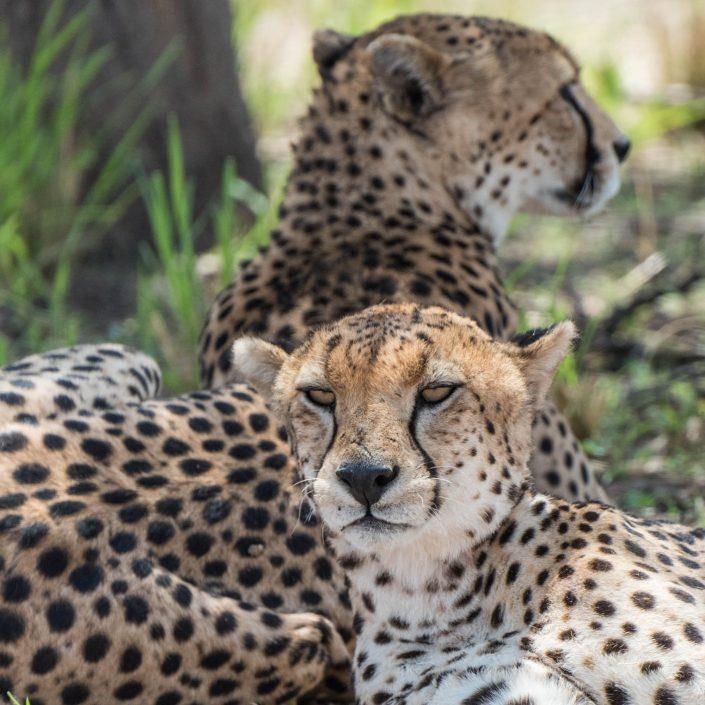 Geparden im Tarangire NP