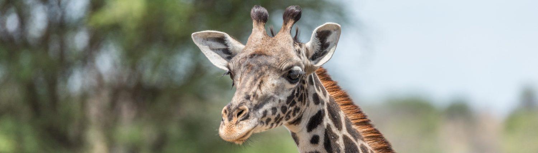 giraffe im tarangire national park