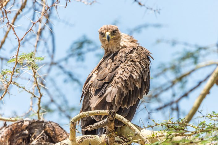 Tarangire National park in Tanzania, an eagle