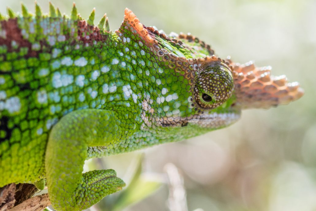 the famous chameleon of the usambara mountains