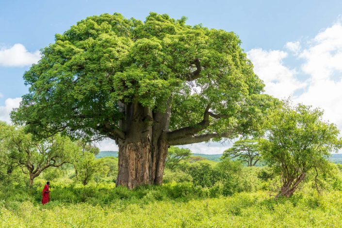 a huge baobab tree in the maasailand area in tanzania