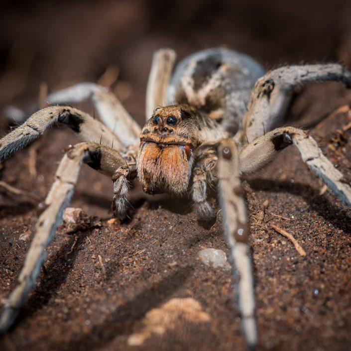 Tanzania, Africa, wildlife. Wolf spider