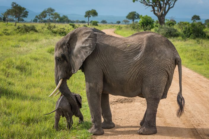 Mikumi National park in Tanzania, motherlove of an elephant