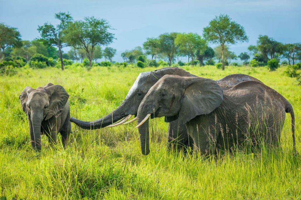 Tanzania, a group of elephants in Mikumi