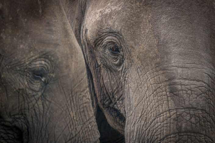two close ups of elephants in the mikumi national park tanzania