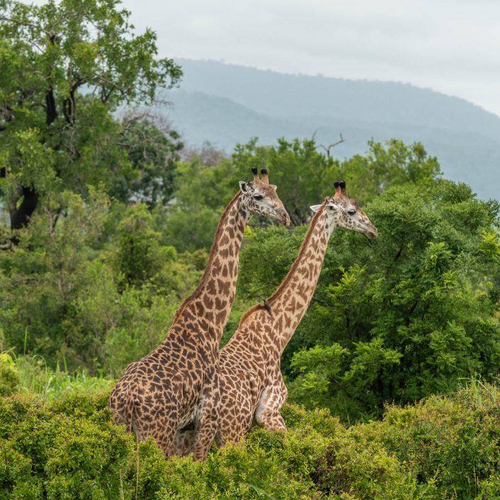 Giraffes in Mikumi