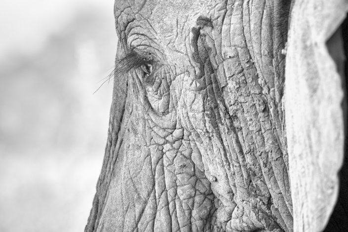 elephant close up b/w mikumi np