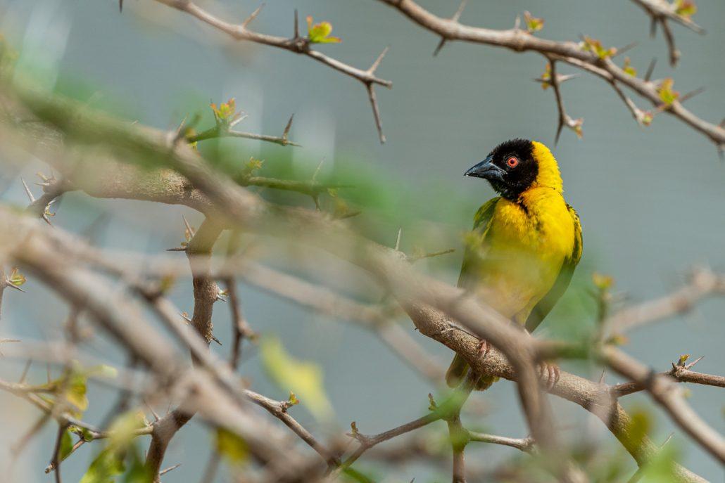weaver bird in Selous National Park