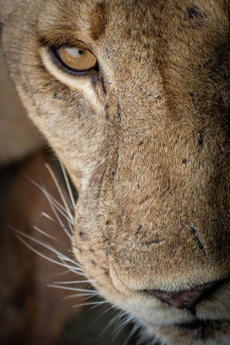 close up of a lion in the selous national park in tanzania