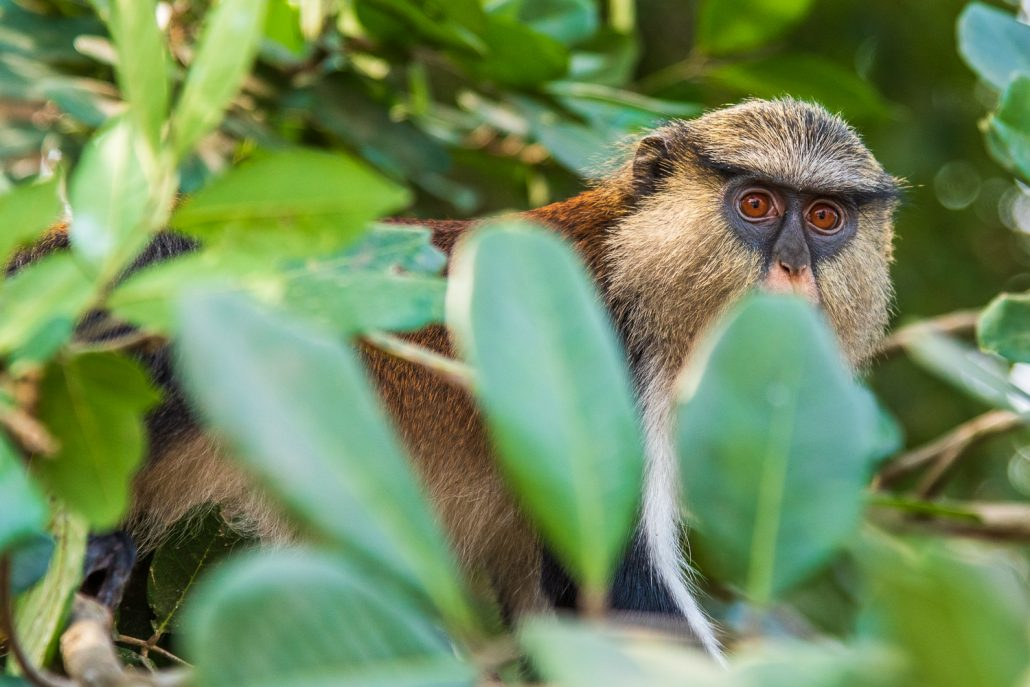 a monkey in the sanctuary, volta region, ghana